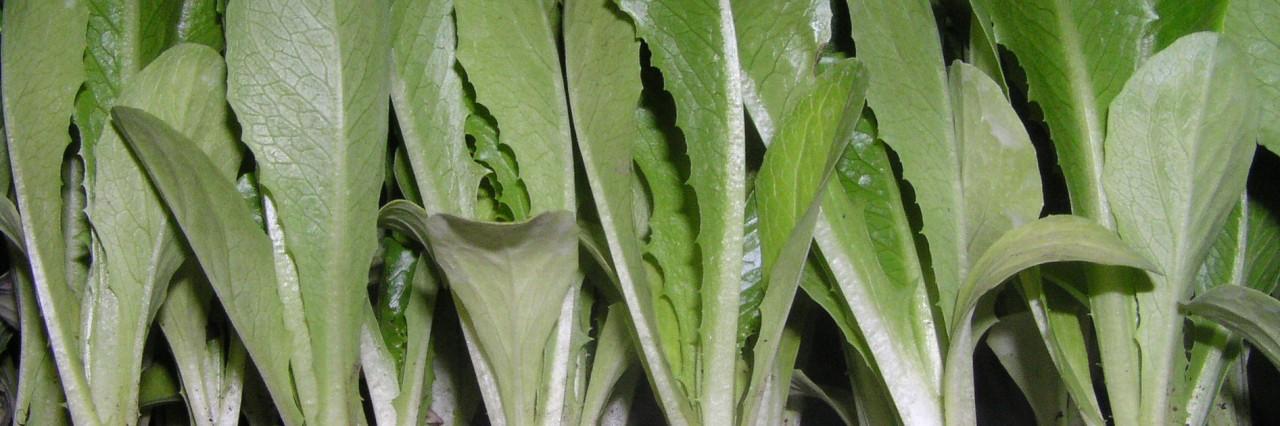 Lettuce Plugs